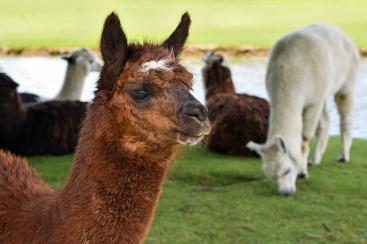alpaca-2459599_1280